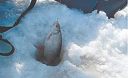 Весенняя рыбинская плотва